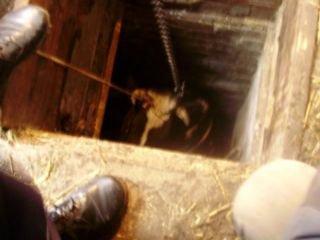 На Рівненщині корова впала у погреб