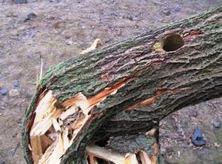 Рівненські дятли ламають дерева? [ФОТО]