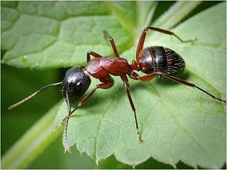Як позбутися мурах: в саду, в городі і будівлях | Новини ...
